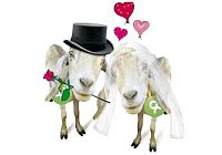 Ziegenpaar verlobt sich